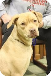 Pit Bull Terrier/Labrador Retriever Mix Dog for adoption in Dover, Ohio - Kira