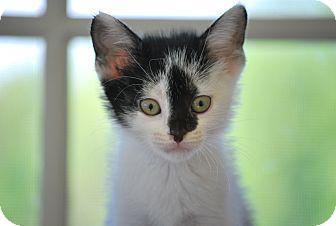 Domestic Shorthair Kitten for adoption in Trevose, Pennsylvania - KITTENS, KITTENS AND MORE KITS