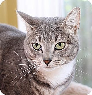 Domestic Shorthair Cat for adoption in Winston-Salem, North Carolina - Lillian