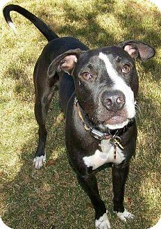 Labrador Retriever/Great Dane Mix Dog for adoption in El Campo, Texas - Eros
