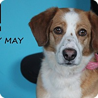 Adopt A Pet :: Dolly May - Chicago, IL