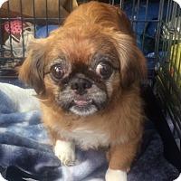 Pekingese Mix Dog for adoption in Oak Ridge, New Jersey - Ringo