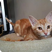 Adopt A Pet :: .Ginger - Baltimore, MD