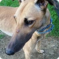 Adopt A Pet :: Kaz - Swanzey, NH
