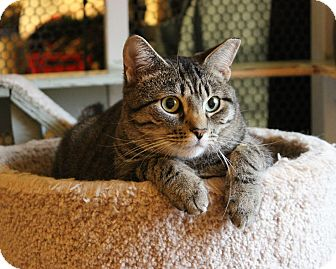 Domestic Shorthair Cat for adoption in Carlisle, Pennsylvania - Ishani