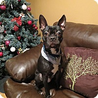Boston Terrier/French Bulldog Mix Dog for adoption in Bowmanville, Ontario - QUINCY