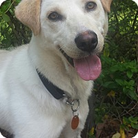 Adopt A Pet :: Lacey - Manchester, NH