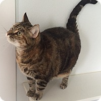 Domestic Shorthair Cat for adoption in Greensburg, Pennsylvania - Willow