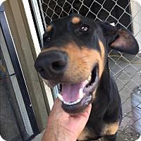Adopt A Pet :: PRINCE - Studio City, CA