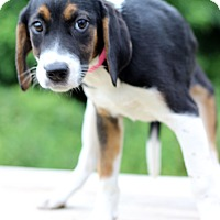 Adopt A Pet :: Penni - Waldorf, MD