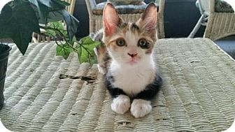 Calico Kitten for adoption in Crestview, Florida - Reesie