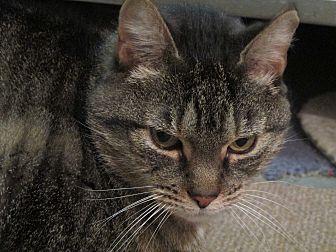 Domestic Shorthair Cat for adoption in Plattekill, New York - Adele