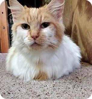 Domestic Longhair Cat for adoption in Cincinnati, Ohio - Mitzi