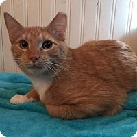 Domestic Shorthair Kitten for adoption in Colorado Springs, Colorado - Togo
