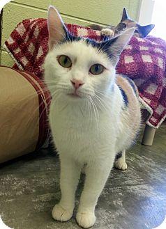 Calico Cat for adoption in Shinnston, West Virginia - Shasta
