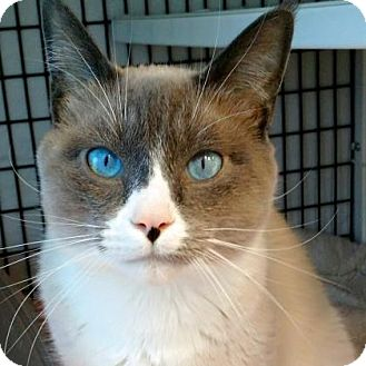 Snowshoe Cat for adoption in Denver, Colorado - Milo