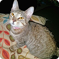 Domestic Shorthair Kitten for adoption in Arlington/Ft Worth, Texas - Sundae