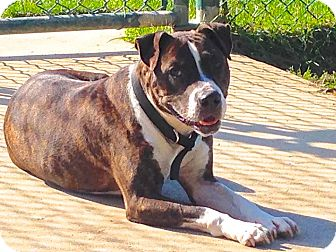 American Staffordshire Terrier/Terrier (Unknown Type, Medium) Mix Dog for adoption in Troy, Michigan - Man Man