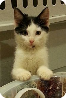 Domestic Shorthair Kitten for adoption in Jackson, Missouri - WRANGLER