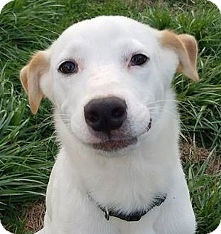 Labrador Retriever Mix Puppy for adoption in Hanover, Pennsylvania - Star