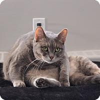 Domestic Shorthair Cat for adoption in Toronto, Ontario - Sandy