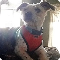 Terrier (Unknown Type, Small) Mix Dog for adoption in WESTMINSTER, Maryland - Fred