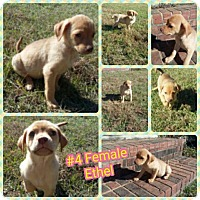 Adopt A Pet :: Ethel-pending adoption - Manchester, CT