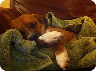 Fox Terrier (Toy)/Beagle Mix Dog for adoption in Lake Forest, California - Georgie