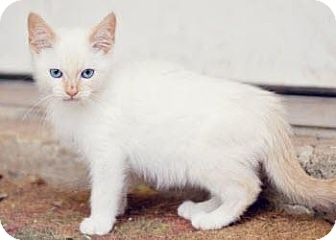 Siamese Kitten for adoption in San Antonio, Texas - Mr. Jingles
