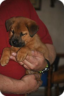 Paco adopted puppy webster mn chow chow german shepherd dog mix