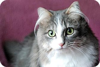 Domestic Longhair Cat for adoption in Seal Beach, California - Jenny Any Dots