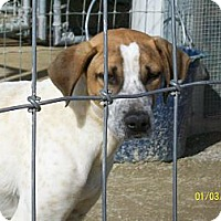 Foxhound/Hound (Unknown Type) Mix Dog for adoption in Mexia, Texas - Chase