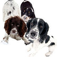 English Springer Spaniel Dog for adoption in Minneapolis, Minnesota - Interested in Fostering?