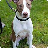 Adopt A Pet :: Lena - Reisterstown, MD