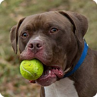 Adopt A Pet :: Simon - Willington, CT