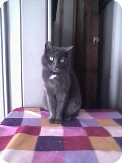 Domestic Shorthair Cat for adoption in Calimesa, California - Dusty