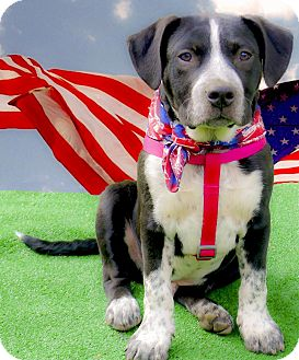 Labrador Retriever/Spaniel (Unknown Type) Mix Puppy for adoption in Sacramento, California - Sabaka of best temperament