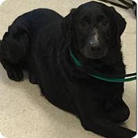 Adopt A Pet :: Pumpkin - Issaquah, WA