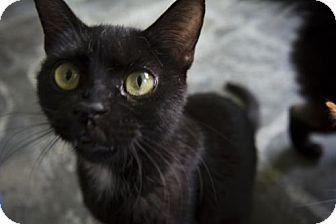 American Shorthair Cat for adoption in Sarasota, Florida - Polka Dot