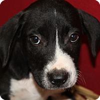 Adopt A Pet :: Dalton - Waldorf, MD
