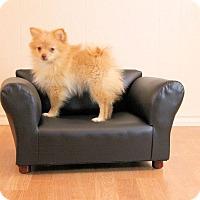 Adopt A Pet :: lolly - conroe, TX