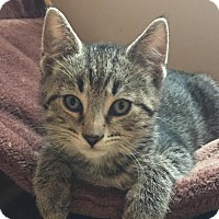 Adopt A Pet :: Dutch - Columbus, OH