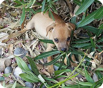 Chihuahua/Pug Mix Puppy for adoption in Phoenix, Arizona - Tucker