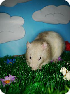 Rat for adoption in Welland, Ontario - Emily