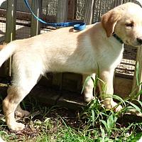 Adopt A Pet :: Odin - Hartford, CT