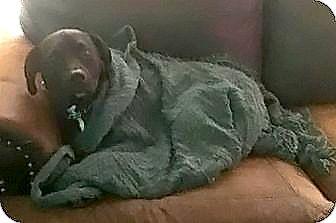 Labrador Retriever Mix Dog for adoption in New Hartford, New York - Harriet