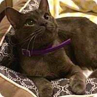 Adopt A Pet :: Mr. Grey Poupon - Baltimore, MD
