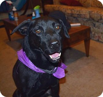 Labrador Retriever Mix Dog for adoption in Deer Park, New York - Trixie
