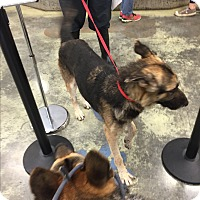 German Shepherd Dog Dog for adoption in Mechanicsburg, Pennsylvania - Max