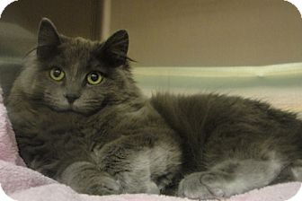 Domestic Longhair Kitten for adoption in Troy, Illinois - Brayton